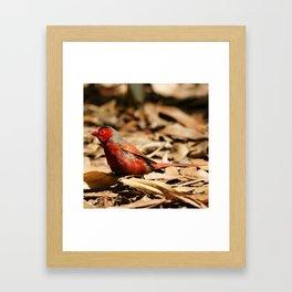 Crimson Finch Framed Art Print