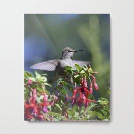 the posing hummingbird Metal Print