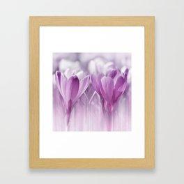 Crocuses  0174 Framed Art Print