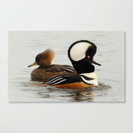 A Tale of Two Hooded Mergansers Canvas Print