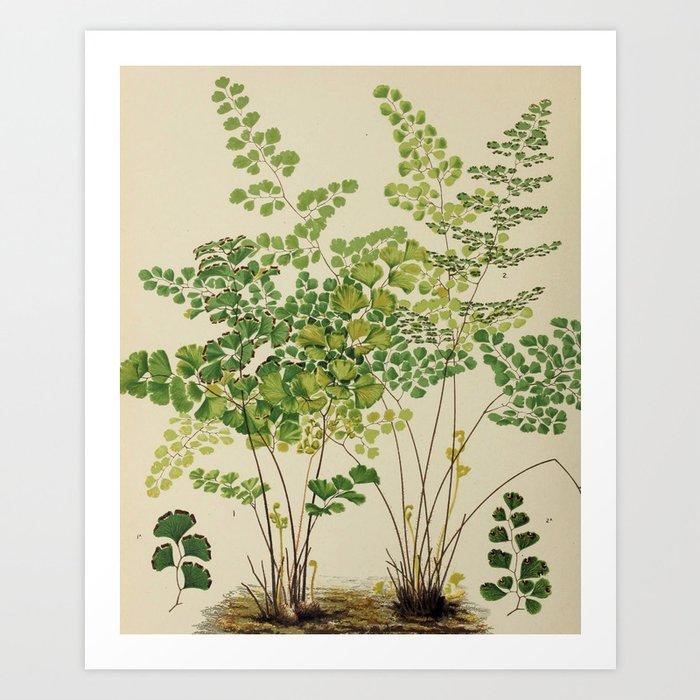 Maidenhair Ferns Kunstdrucke