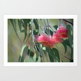 Eucalyptus Silver Princess Blossoms I Art Print