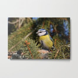 Blue tit resting on a branch conifer Metal Print