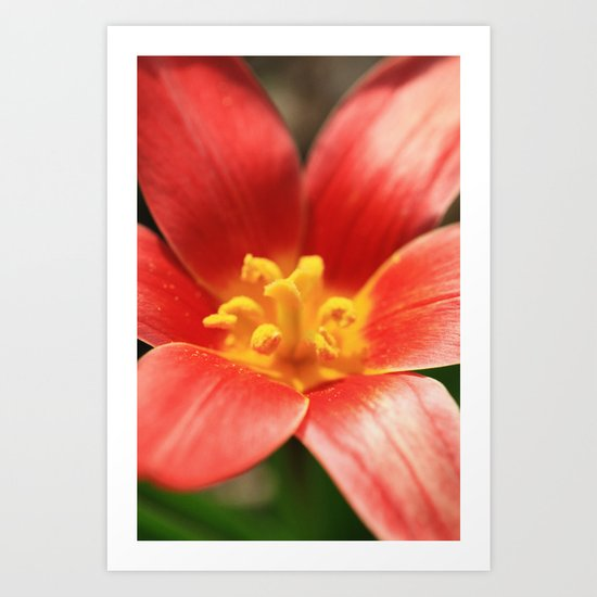 Tulipa linifolia  Art Print
