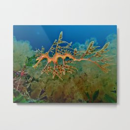 Leafy Seadragon 1 - Rapid Bay, South Australia Metal Print