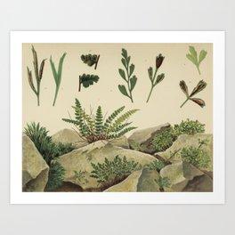 Rock Ferns Art Print