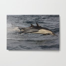 Common Dolphin flying through the air.  Metal Print