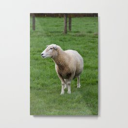Wary North Island Sheep, in profile Metal Print