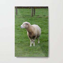 Wary North Island Sheep, in profile Metal Print