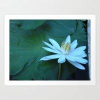 White waterlily Art Print