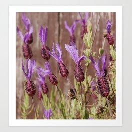 French Lavender (Lavandula stoechas) Art Print