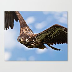 Flying Immature Bald Eagle Canvas Print