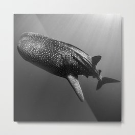 Whale shark black white Metal Print