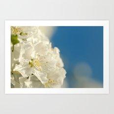 Spring crab apple blossom Art Print