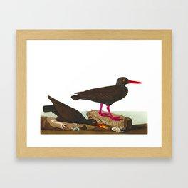 White-legged Oyster-catcher, or Slender-billed Oyster-catcher Bird Framed Art Print