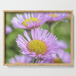 Aster pink daisy flowers in soft focus Serving Tray
