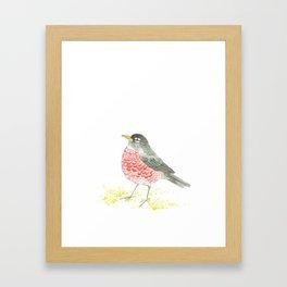American Robin. Framed Art Print