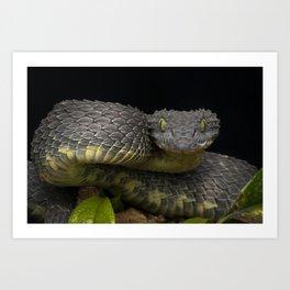 Black Dragon - Venomous Black Bush Viper Snake (Atheris squamigera) Art Print