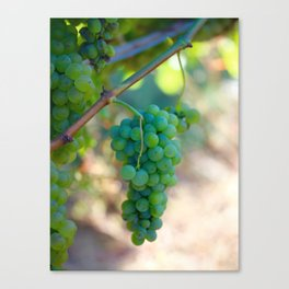 Sauvignon Blanc Grapes on the Vine Canvas Print