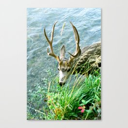 Summer Buck Canvas Print