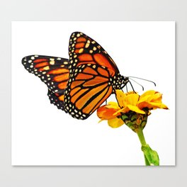 Monarch Butterfly on Zinnia Flower Canvas Print