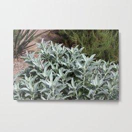 Salvia apiana Metal Print