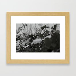 Snow covered ivy Framed Art Print