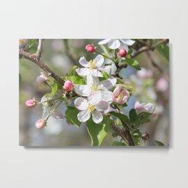 Sweet Apple Blossoms Metal Print