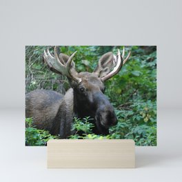 Moose in Underbrush Mini Art Print