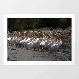 Group of White Pelicans Art Print