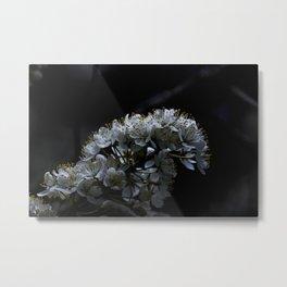 Apple Blossum Metal Print