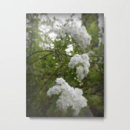 Bridal Wreath Spirea III Metal Print