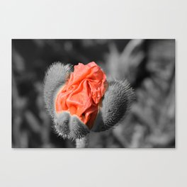 Macro shot of a poppy flower - selective color Canvas Print