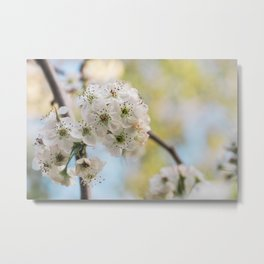 Pear Blossoms in spring. Metal Print