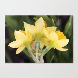 Tête-à-Tête Daffodils from the Back Canvas Print