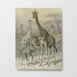 Brehm's Life of animals vintage Ink Illustration Baby Giraffe Family Metal Print