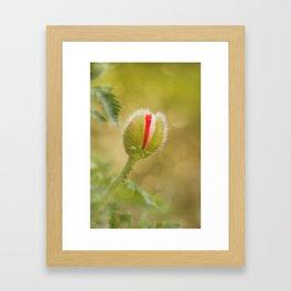 Bud of a large poppy Framed Art Print
