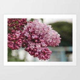 Spring Lilacs Art Print