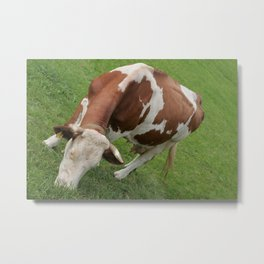 cow in an inclined position, color photo Metal Print