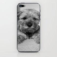 Dog: Border Terrier iPhone & iPod Skin