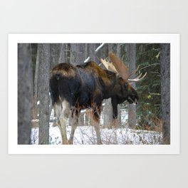 Massive male moose on the loose in Jasper National Park Art Print