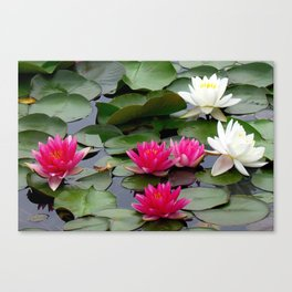 Water Lilies - Pink and White Canvas Print