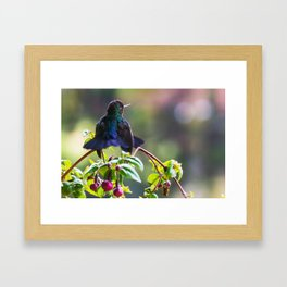 Fiery-throated Hummingbird Framed Art Print