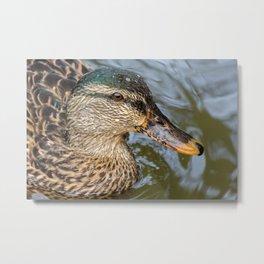 Wildlife nature duck swimming Metal Print