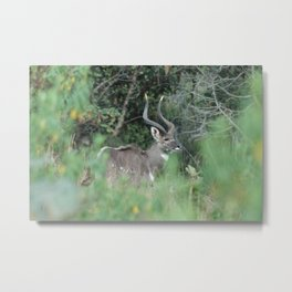 Female Mountain Nyala Antelope Bala Mountains Ethiopia Metal Print