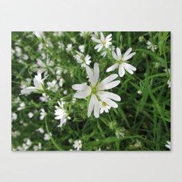 Greater Stitchwort  Canvas Print