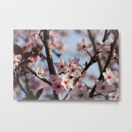Pink Plum Tree Blossoms against a Blue Sky Metal Print