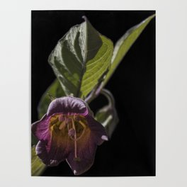 Atropa belladonna Poster