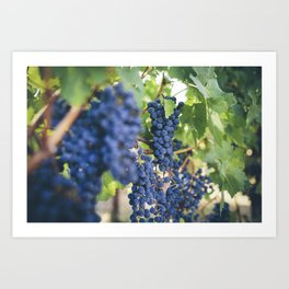 Grapes in Napa Valley Art Print