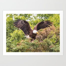 Eagle at Brooks Falls Art Print
